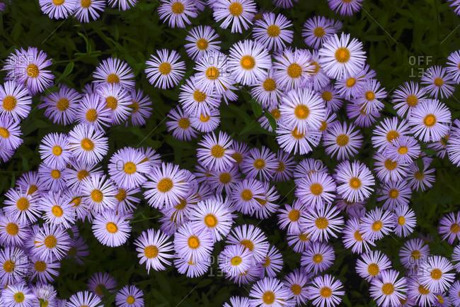 European Michaelmas daisies (Aster amellus)