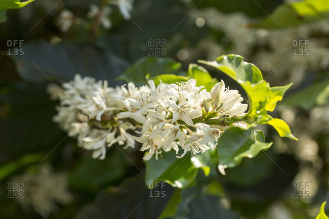 Close up of white flower blossoms blooming on a branch