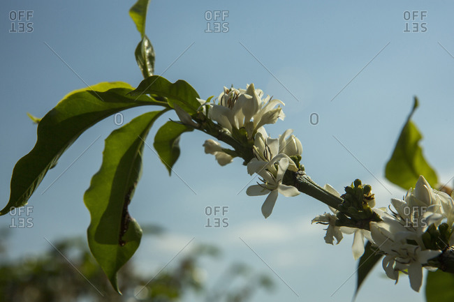 Low angle view of white flower blossoms blooming on a branch