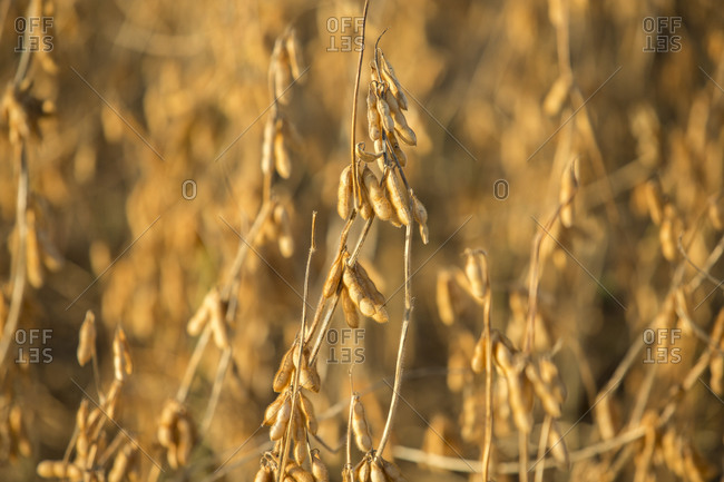 Close up of ripe soybeans in a field