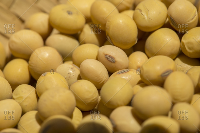 Freshly harvested soybeans close up