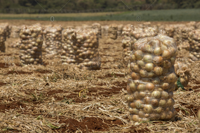 Onions being harvested and collected in sacks in a field