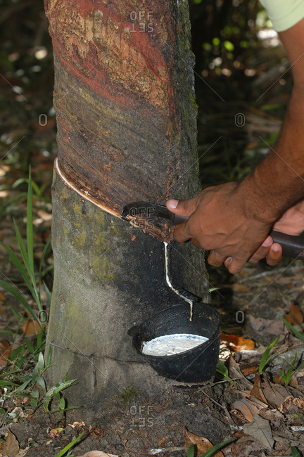 Man collecting latex from a rubber tree