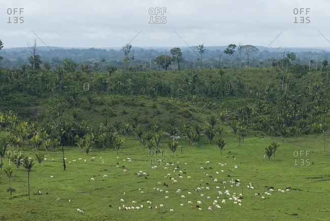View over cows in a pasture by rainforest in Brazil