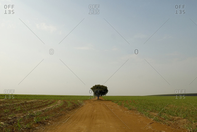 A single tree on a dirt path in a rural field