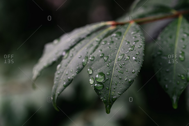 Close up of water drops on leaves after a summer rain.