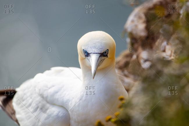 Northern garnet sat on its nest at bempton cliffs north yorkshire