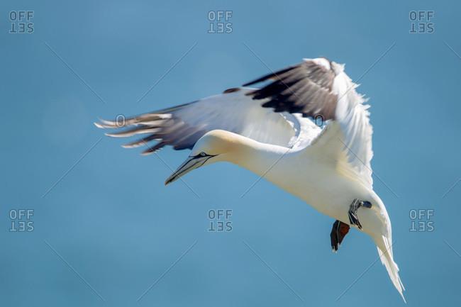 Northern garnet flying against a blue sky at bempton cliffs north yorkshire