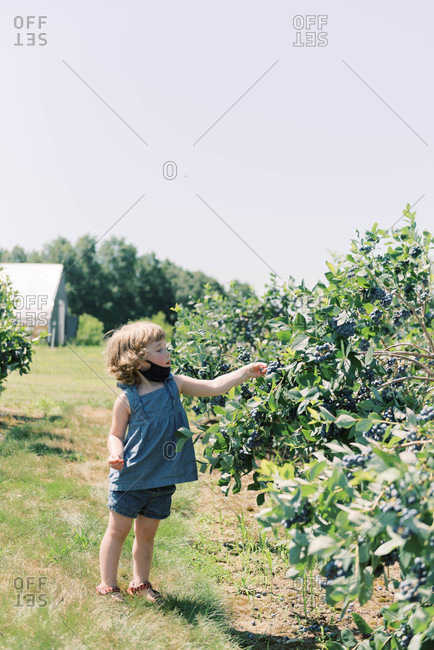 Toddler with mask down so she can eat blueberries at a farm
