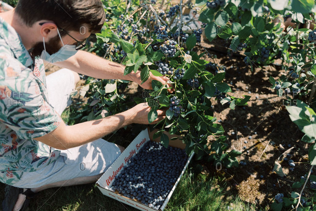 Man wearing a mask due to covid-19 while picking blueberries at a farm