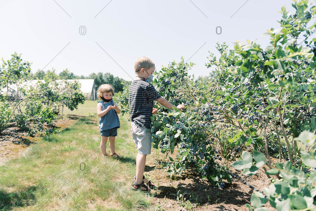 Two kids picking blueberries on a farm with masks on