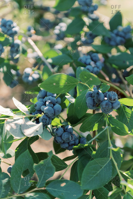 Closeup of ripe clusters of blueberries on a bush