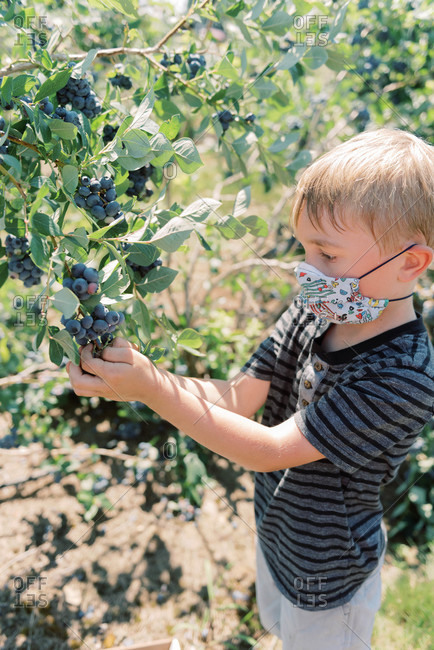 Boy wearing a mask due to covid-19 while picking blueberries at a farm