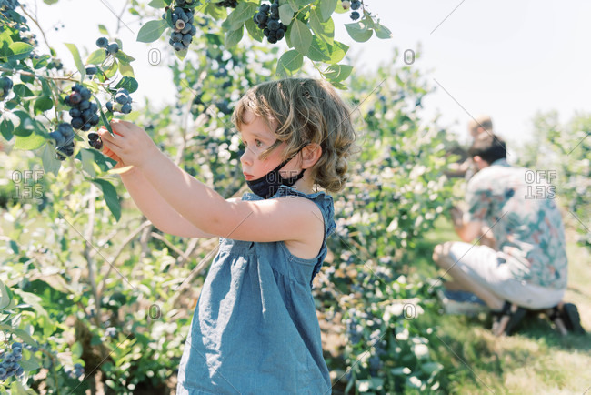 Toddler with mask off eating blueberries at a blueberry farm