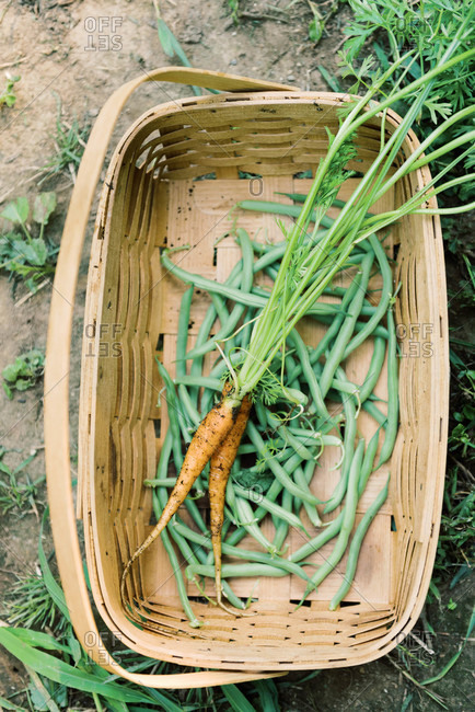 Picking green beans and carrots from the vegetable garden