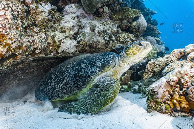 Giant green sea turtle (chelonia mydas) at the great barrier reef