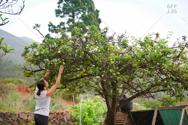 Back view of woman standing in green garden and collecting Mirabelle plums from tree while working on farmland in summer