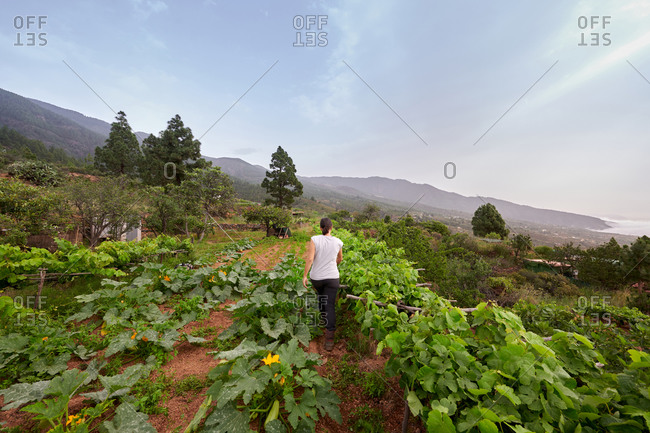 Back view of unrecognizable female farmer collecting fresh grapes in garden in summer