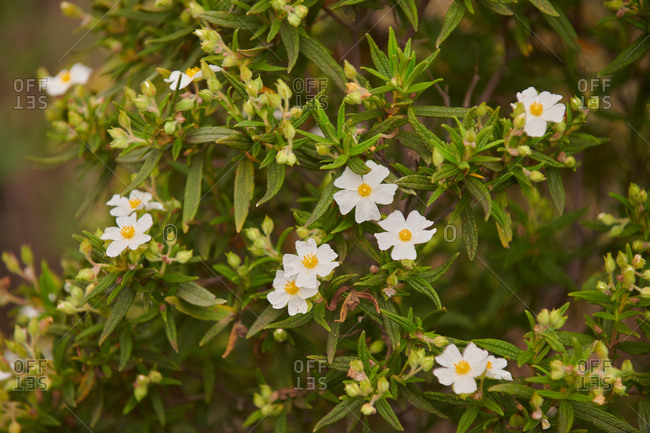 Cistus monspeliensis with white delicate flowers and green leaves growing in green garden in summer