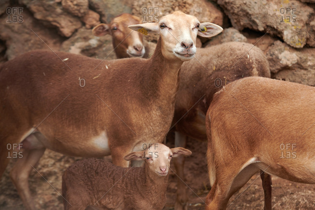 Flock of brown domestic sheep with lamb grazing near rough rocks in countryside