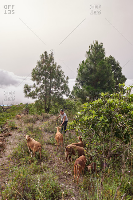 Female farmer standing on meadow in rural area with herd of sheep pasturing in field and eating grass