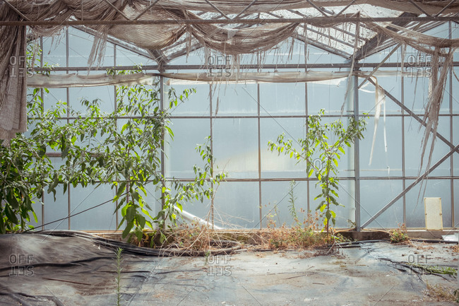 Various wild plants growing in shabby neglected hothouse with dirty roof and glass walls