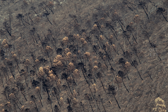 Drone view of lifeless trees and dried grass in forest after destructive fire