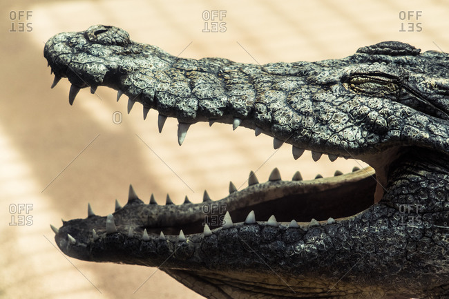 Closeup of open maw of American alligator with pointed teeth and closed eyes on uneven skin with small nose and nostrils on beige background in sunlight
