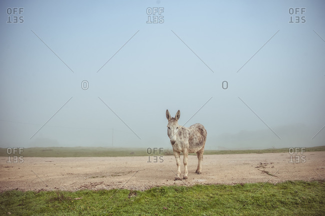 domestic donkey pasturing in green meadow and standing on road during foggy morning in countryside