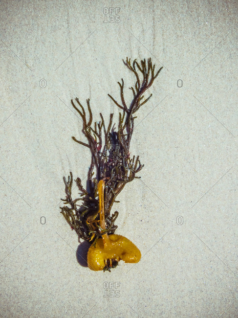 Top view small brown Padina Pavonica seaweed with thin leafy frond and curly flat leaves placed on sandy seashore during sunny day