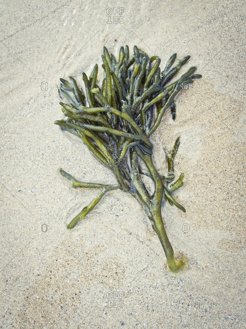 From above delicate green Codium Fragile seaweed coming ashore on sandy beach during daytime