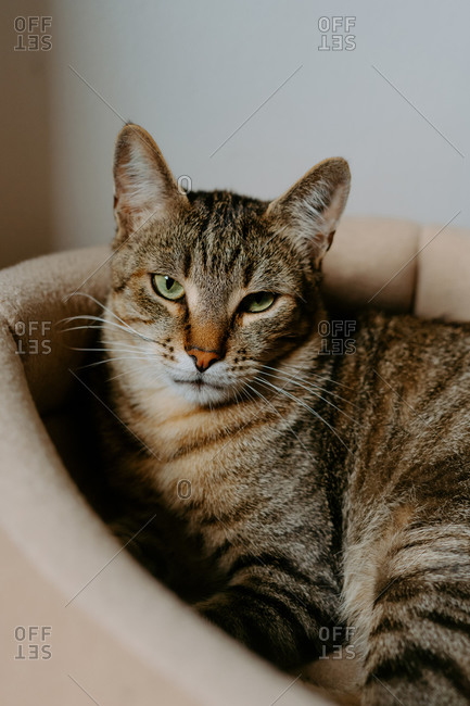 Funny tabby cat sitting in comfortable basket bed in cozy room and yawning