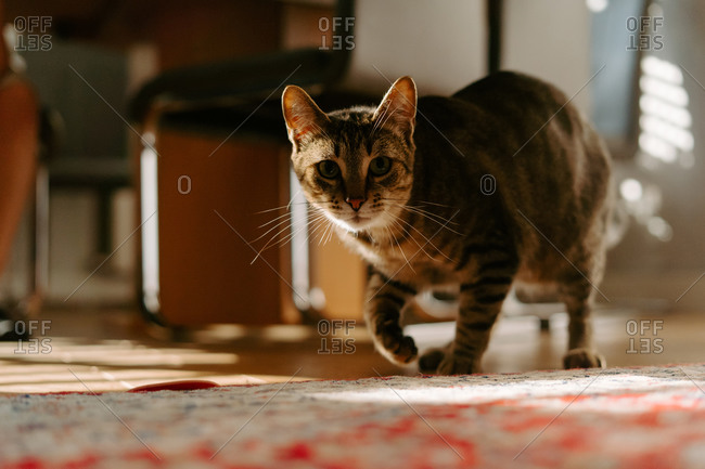 Cute curious Dragon Li cat walking on floor at home and looking at camera