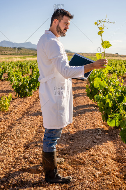 Side view full length male winemaker in white robe and gumboots with laptop looking at grape bush twig while working on vineyard during sunny day