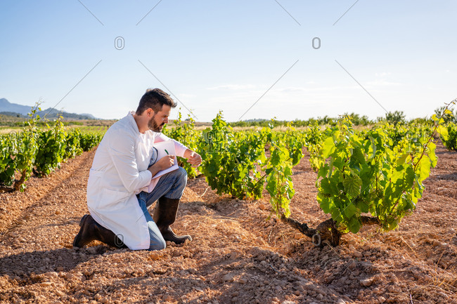 Side view full length focused male winemaker in robe hunkering down and checking grape bushes while writing down notes in notebook in sunny summer vineyard