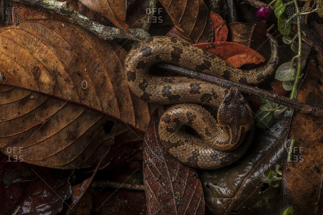Top view of Ovophis convictus snake resting on dry leaves in woods