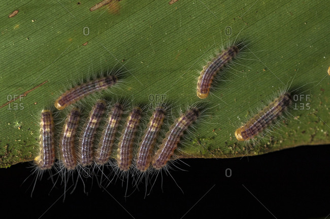 Top view of small fuzzy caterpillars eating green leaf in woods