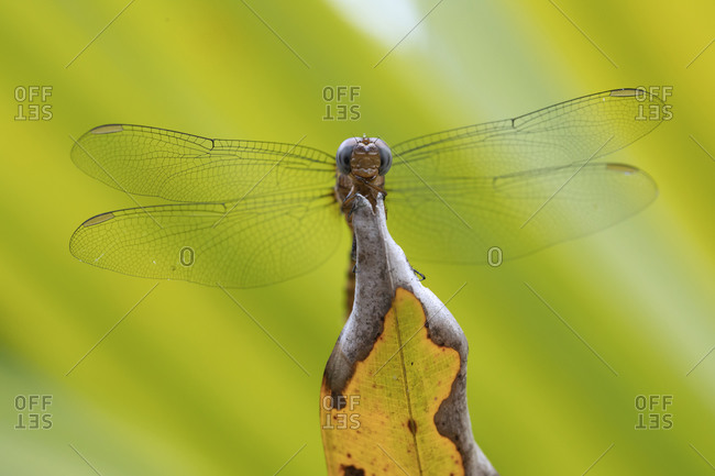 Closeup of dragonfly with delicate wings sitting on leaf in green forest