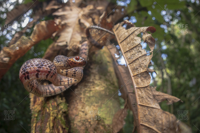 From below of striped brown snake hanging from tree branch in forest