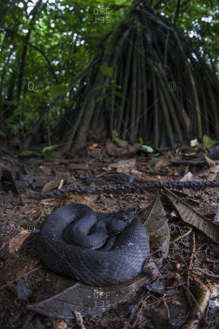 Black cottonmouth snake lying on leaves on wet ground in dark woods