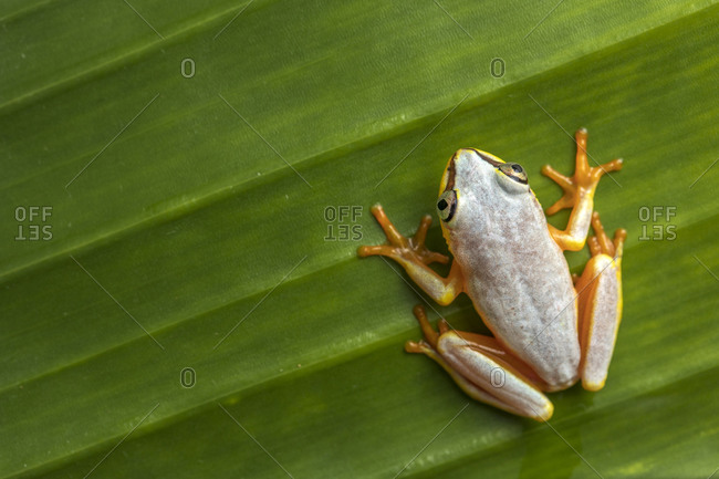 From above closeup of small arum frog or Horstock reed frog with bright orange feet sitting on green leaf