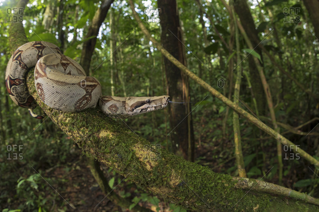 Boa constrictor hanging from mossy tree in woods