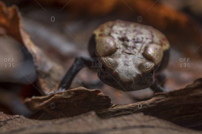 Closeup of small brown frog sitting on dry leaves against blurred environment in background