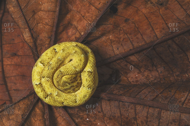 From above of bright yellow snake with spots curled up on brown plant leaves