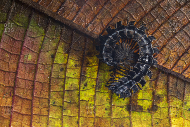 Closeup of black millipede curled up on colorful plant leaf in habitat