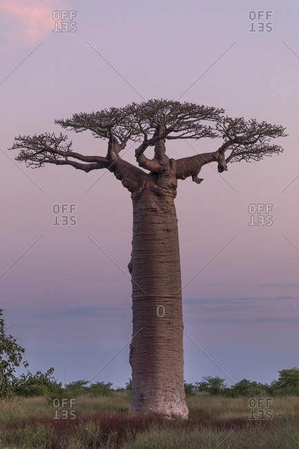 Silhouettes of huge baobabs growing in park on background of spectacular sundown