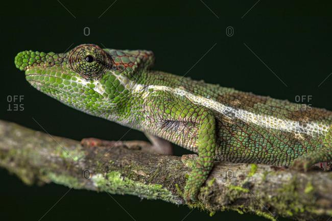 Side view closeup of amazing chameleon sitting on mossy twig on black background. Calumma fallax