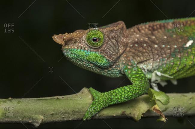 Side view closeup of amazing chameleon sitting on twig on black background. Calumma oushaughessyi