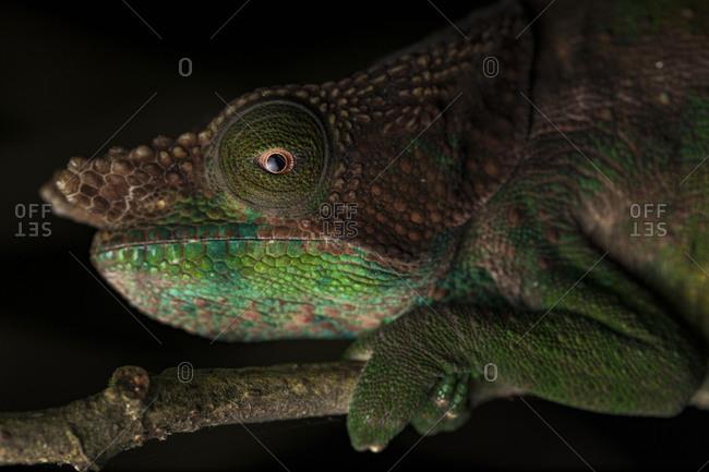 Side view closeup of amazing chameleon sitting on twig on black background. Calumma parsonii
