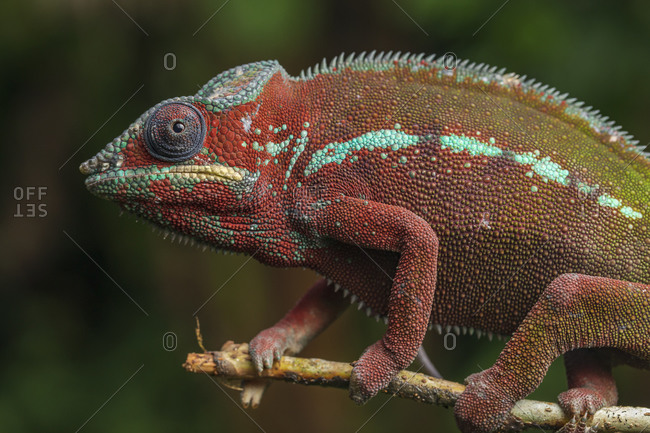 Side view closeup of amazing chameleon sitting on twig on green background. Furcifer pardalis